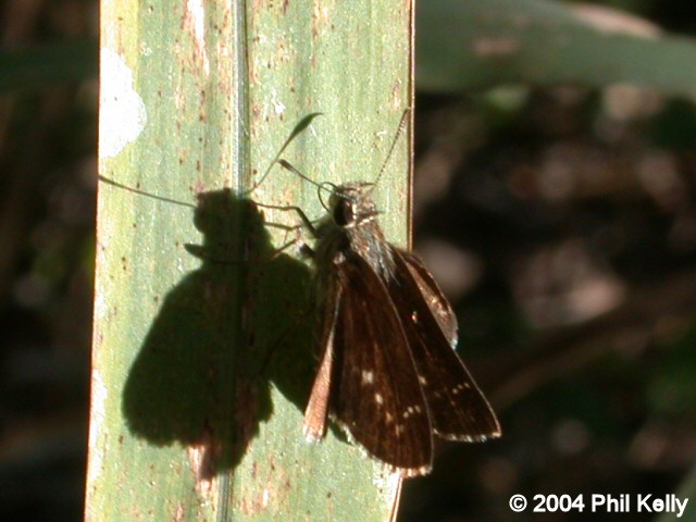 Celia's Roadside-Skipper
