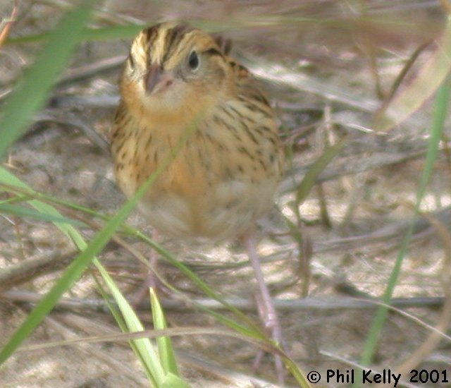 LeConte's Sparrow Photo 1