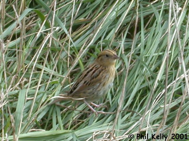 LeConte's Sparrow Photo 2