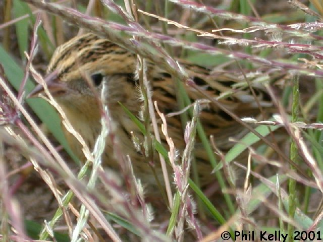 LeConte's Sparrow Photo 3