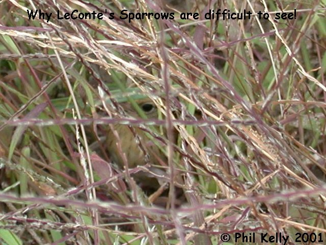 LeConte's Sparrow Photo 4