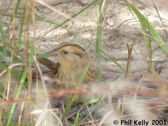 LeConte's Sparrow Photo 6
