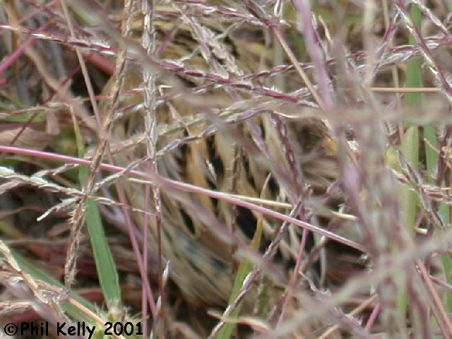 LeConte's Sparrow Photo 7