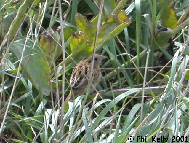 LeConte's Sparrow Photo 8
