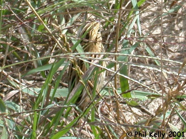 LeConte's Sparrow Photo 9