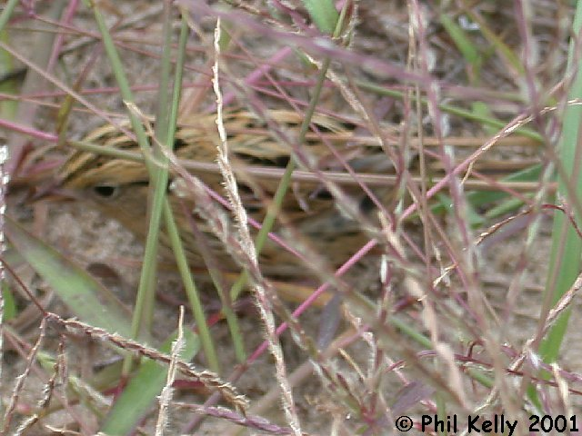 LeConte's Sparrow Photo 11