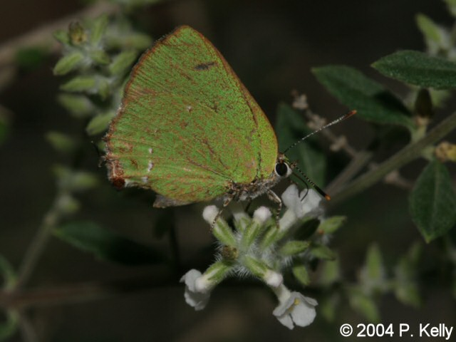 Tropical Greenstreak Image Right