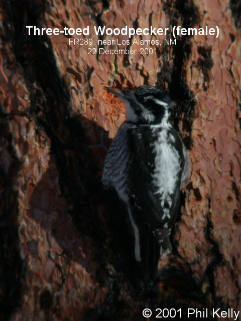 Three-toed Woodpecker - Female