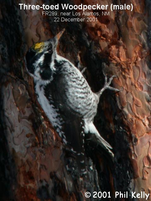 Three-toed Woodpecker - Male