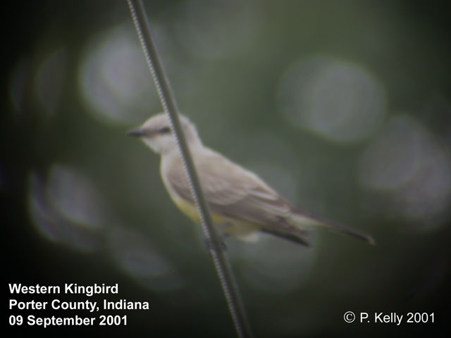 Western Kingbird Photo 1