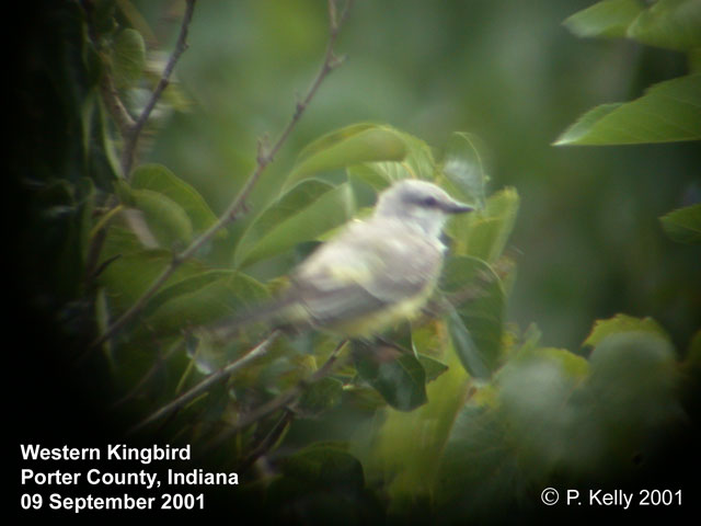 Western Kingbird Photo 2