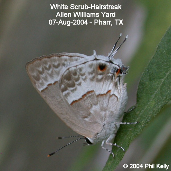 White Scrub-Hairstreak